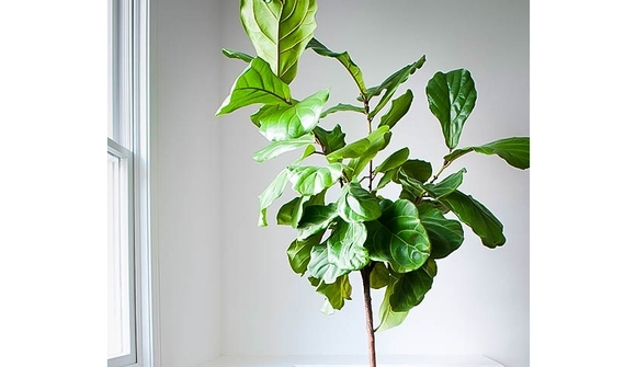 How to care for a Ficus Lyrata, (Fiddle Leaf Fig plant)