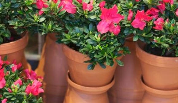 A is for Azalea-plant care