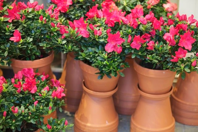 Plant azalea - Care azaleas keep years ...