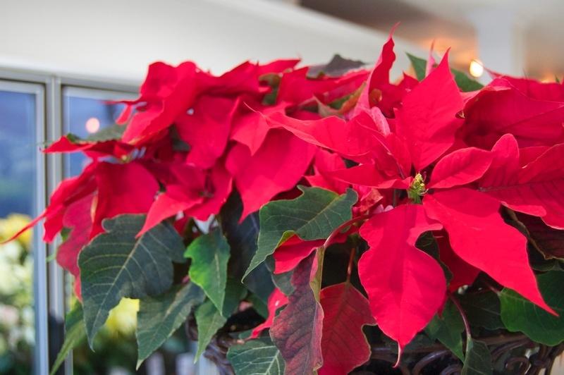 P Is For Poinsettia Plant Care Westmount Florist