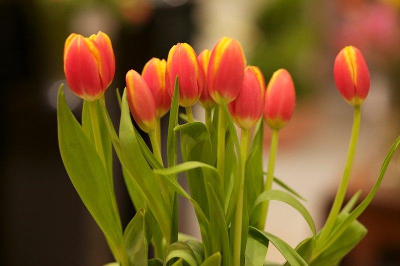 Flower Profile The Tulip Westmount Florist