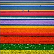 A gorgeous field of tulips in Holland !
