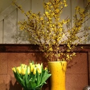Our Pointe Claire store displaying some fabulous forsythia.