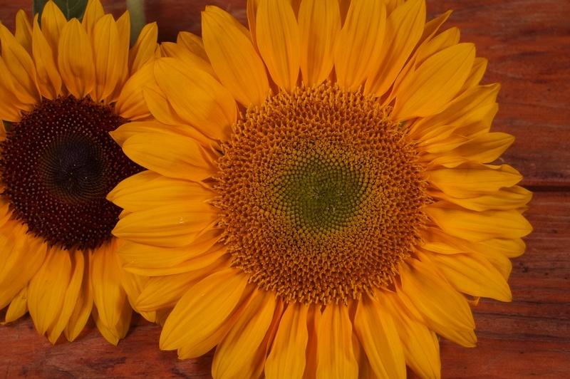 Flower Profile The Sunflower Westmount Florist