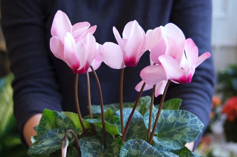 c is for cyclamen