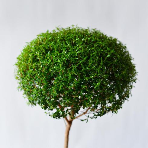 Myrtle Topiary single2