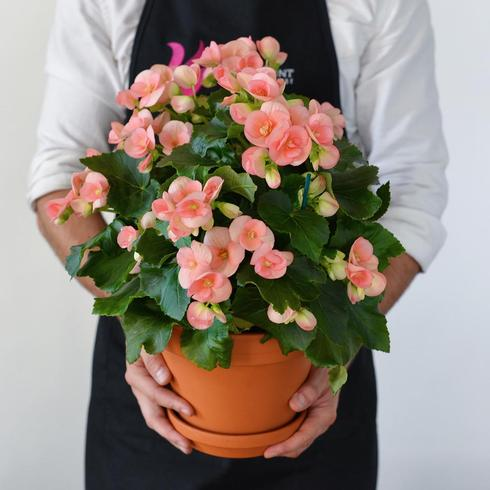 Light Pink Begonia**AVAILABLE IN WESTMOUNT ONLY**2