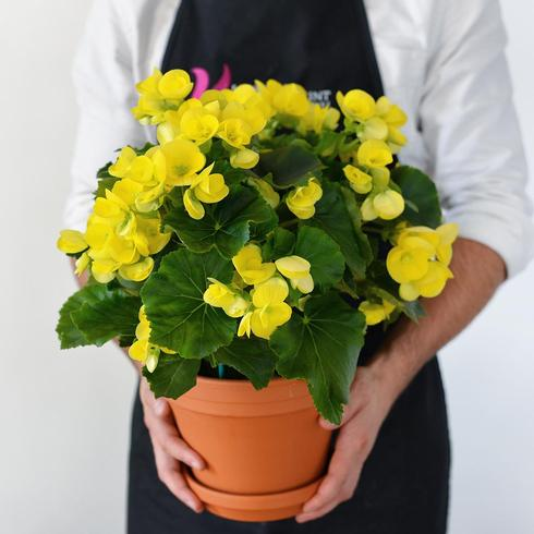 Yellow Begonia2