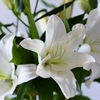 Isabella white lilies