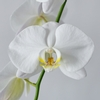 Los Angeles double white orchid