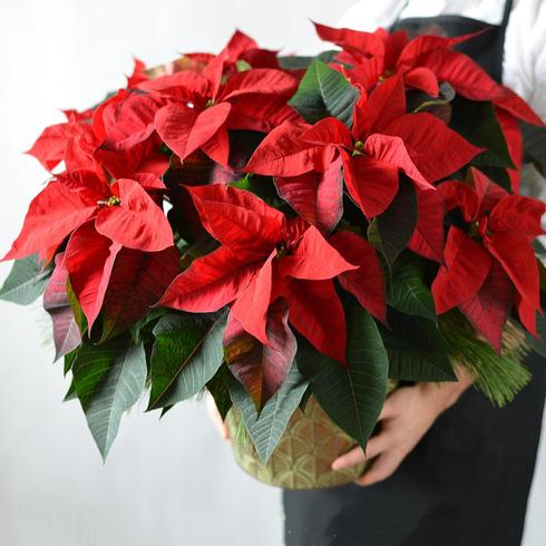 Red Poinsettia (Large)2
