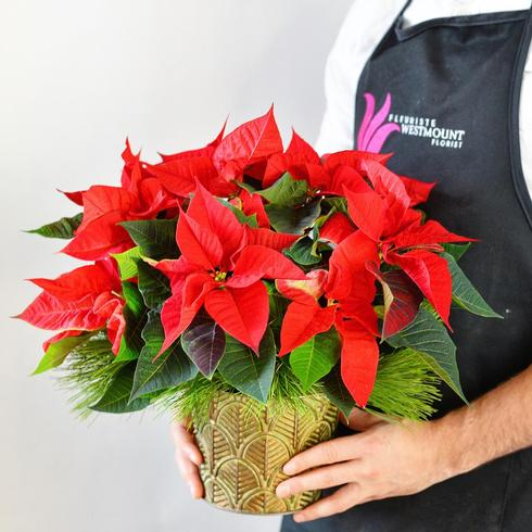 Red Poinsettia (Small)2