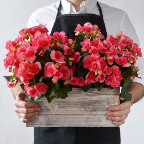 Hot Pink Begonia in a Wooden Box2