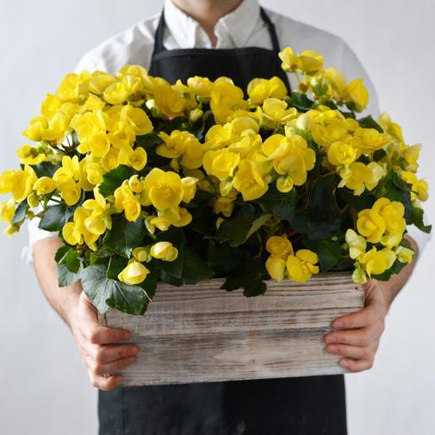 Yellow Begonia in a Wooden Box2