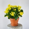 Yellow Begonia**AVAILABLE IN WESTMOUNT ONLY**