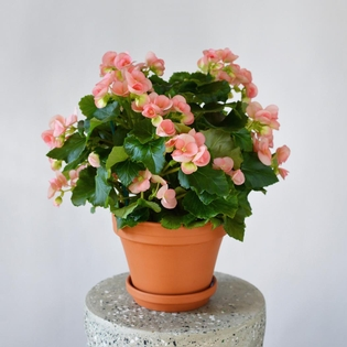 Light Pink Begonia**AVAILABLE IN WESTMOUNT ONLY**