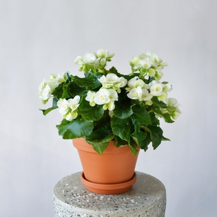 White Begonia***AVAILABLE IN WESTMOUNT ONLY**