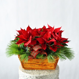 Mini Poinsettias in a basket