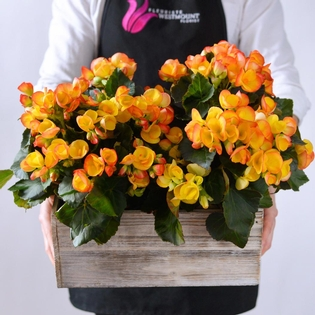 Orange Begonias in Wooden Box