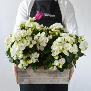 White Begonias in a Wooden Box