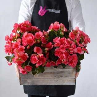 Hot Pink Begonia in a Wooden Box