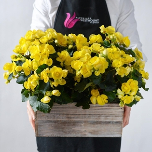 Yellow Begonia in a Wooden Box